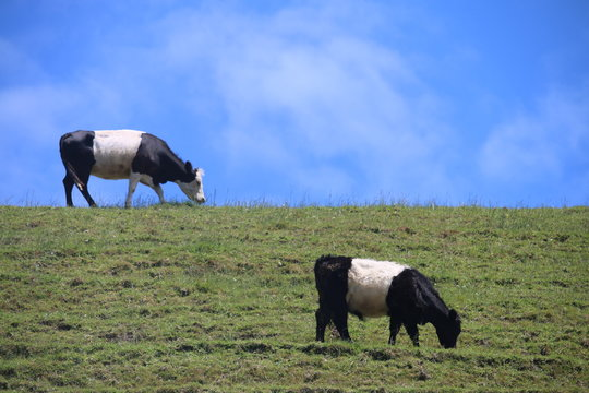 Two Belted Galloway Cows on Hillside