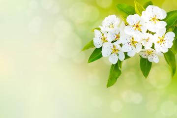 Spring flower. Blossom apple tree.