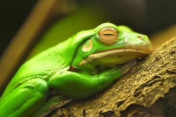 Self adhesive Wall Murals Frog Frogs/Kikker
