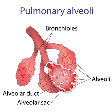 Illustration of human alveoli structure