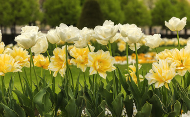 Blooming white tulips in the park