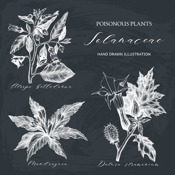 Vector collection of hand drawn nightshade family plants illustration - Angel's trumpet, Belladonna and Mandrake. Poisonous flowers set