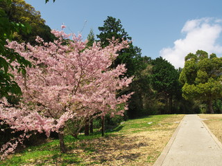 Sakura(cherry blossoms) at Maku mountain park.