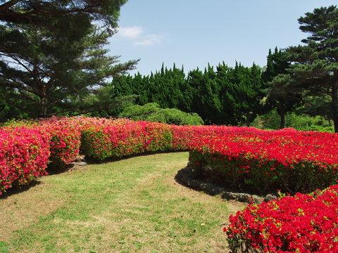 Azalea flowers at Mt. Komuro Park