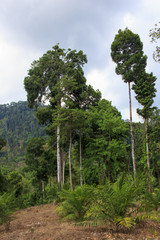 Deforestation: Environmental problem as rain forest is destroyed for oil palm plantation