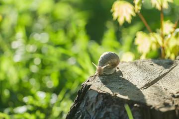 Roman snail creeping on tree stump