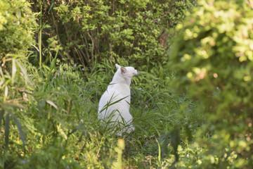 大あくびの白猫