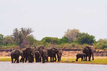 Wall Mural - Elephants drinking water at the waterhole