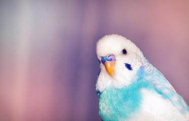 Blue budgerigar