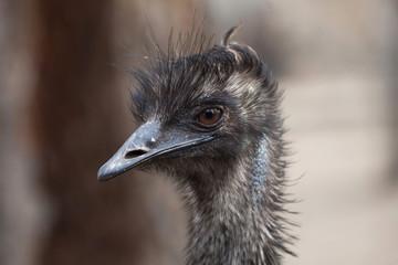 Emu (Dromaius novaehollandiae).