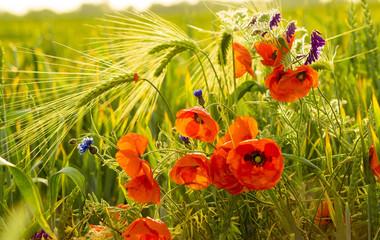 Fototapeta mak polny pośród ziół i kwiatów polnych na łące