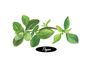 Watercolor fresh thyme isolated on white background