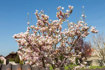 Arbre Magnolia En Fleur Buy This Stock Photo And Explore Similar