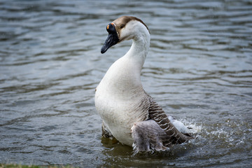 Brown swan goose in pond standing upright