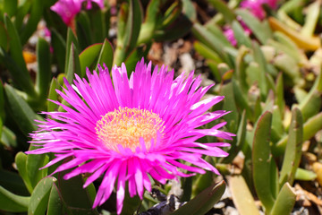 Küstenblume auf Mallorca