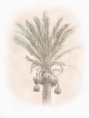 Dates palm branches with ripe dates. In Old city of Jerusalem, Israel. Digital Illustration. Hand drawn.