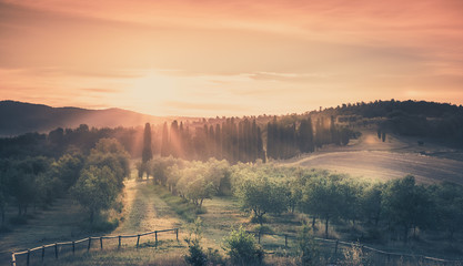 Sunrise over olive field