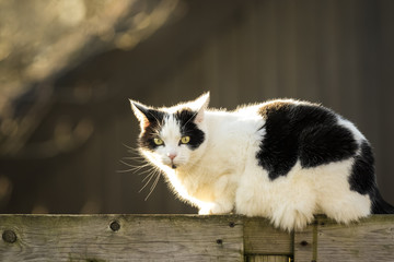 Black and white cat walking fence