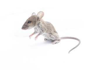 Rat isolated on a white background.