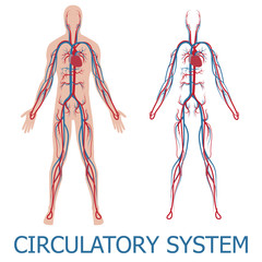 human circulatory system. vector illustration of blood circulation in human body