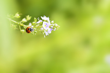 Ladybug on purple flowers of water speedwell in spring.