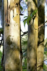 beautiful tree trunks at fairchild tropical gardens