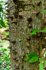 Ceiba or kapok tree (Ceiba Pentandra), Guatemala