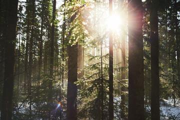 The sun's rays illuminate the coniferous forest