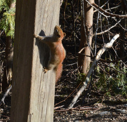 A red haired Chipmunk climbing a wooden barrier.