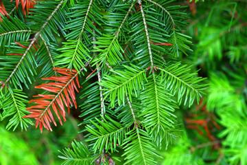 Obraz Balsam Fir (Abies balsamea) Needles - fototapety do salonu