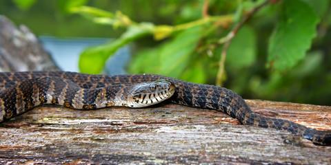 Wisconsin Wildlife Northern Water Snake