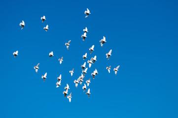 青空に羽ばたく白い鳩
