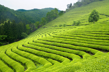 Green tea plantation in South Korea Wall mural
