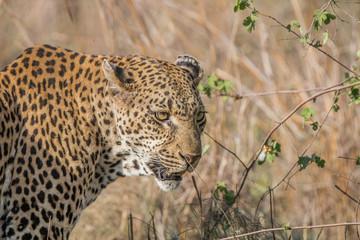 Side profile of a Leopard in the Kruger National Park.
