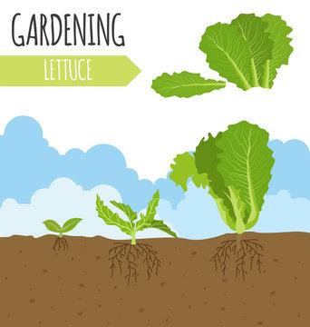 Garden. Lettuce salad. Plant growth