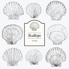 Hand Drawn Scallop Illustratons