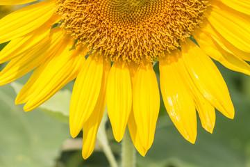 Sunflower in full bloom.