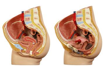 Anatomical model female pelvis