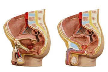 Anatomical model male pelvis