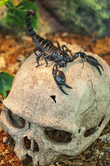 black scorpion on skull