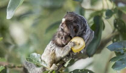 Mom and puppy marmoset monkeys eating banana