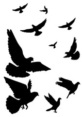 Pigeons fly, flock