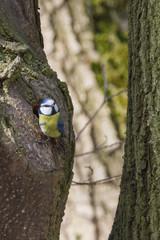 Kohlmeise sitzt am Baum