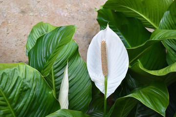 White Spathiphyllum - Peace Lily