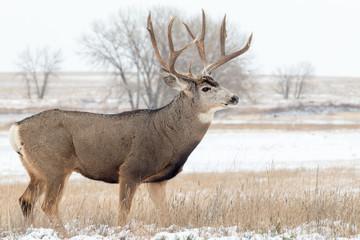 Mule Deer Buck in Snow Wall mural