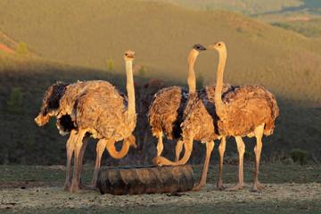 Ostriches on an ostrich farm, Karoo region, Western Cape, South Africa.