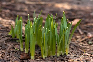 sprouts of daffodils in the flower garden