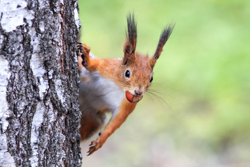 funny playful curious red squirrel peeping from behind a tree with nuts hazelnuts in the teeth