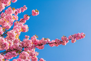 Detail of Chinese cherry tree on blue sky