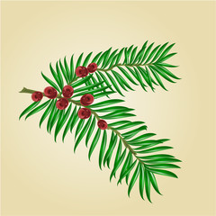 Yew branches with red berries isolated nature background vector illustration